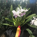 MASS ORCHID SHOW 2017
