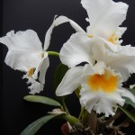 Orchid Emma White Cat_photo
