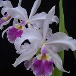 photo cattleya warscewiczii Erick Steven